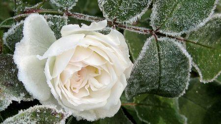 rose, bud, white