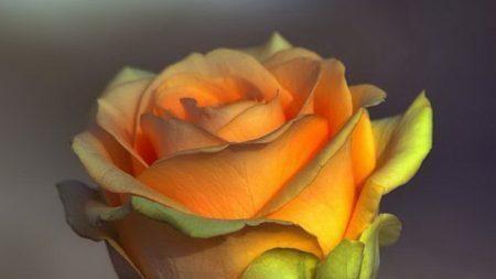rose, bud, yellow