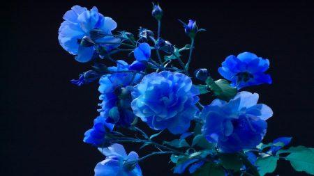 rose, buds, garden