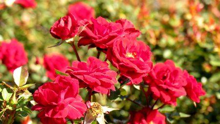 rose, bush, dissolved