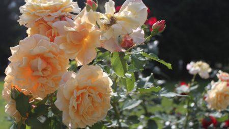 rose, bush, loose