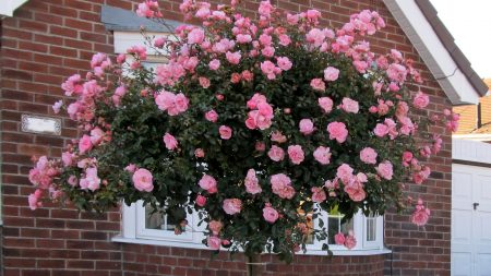 rose, bushes, flowering