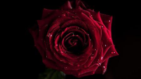 rose, dark, shadow