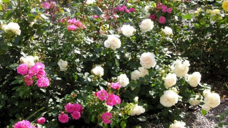 rose, different, bush