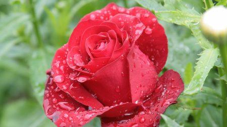 rose, drop, bud