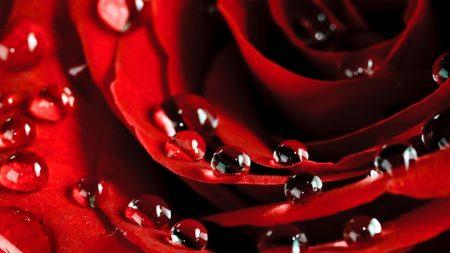 rose, drops, petals