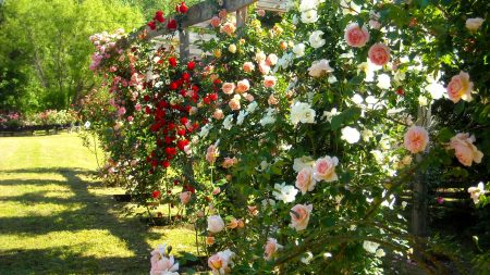 rose, fencing, shade