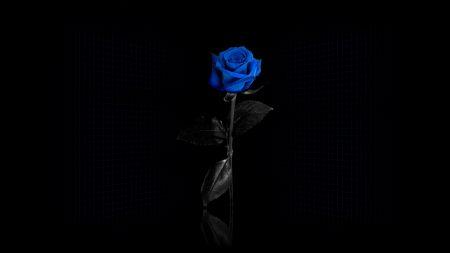 rose, flower, blue