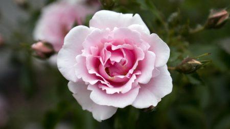rose, flower, close up