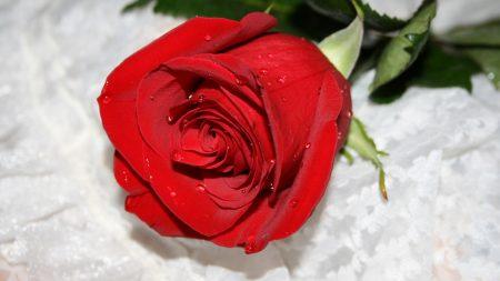 rose, flower drop, bud