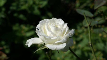 rose, flower, drops