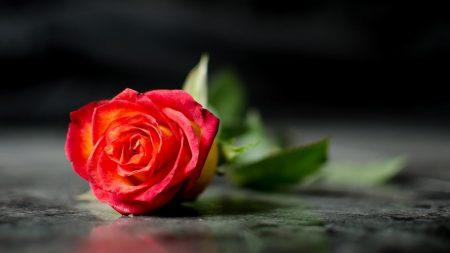 rose, flower, lies