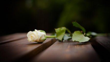 rose, flower, lying