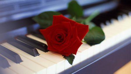 rose, flower, piano