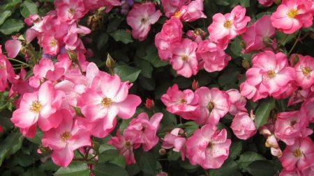rose, flower, shrub