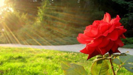 rose, flower, sun