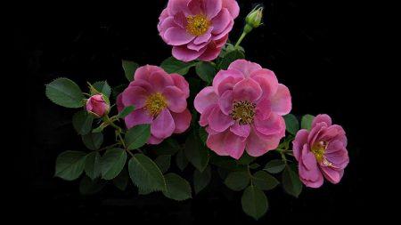 rose, flower, twig