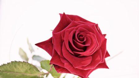 rose, flower, white background