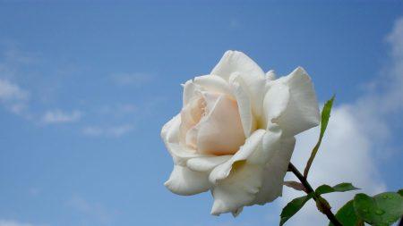rose, flower, white
