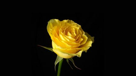 rose, flower, yellow