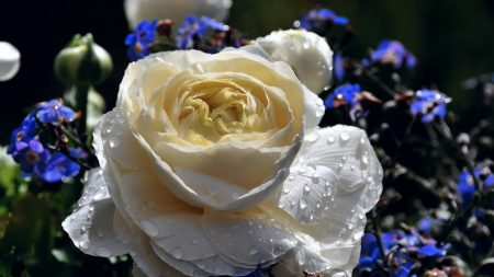 rose, forget-me-drops, freshness
