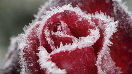 rose, frost, snow