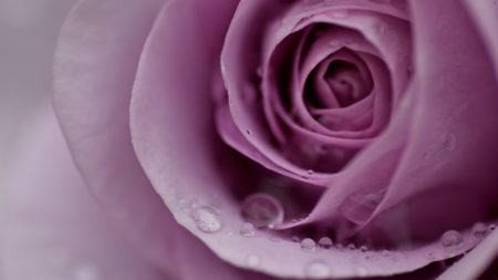 rose, petals, flower