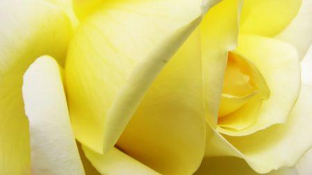 rose, petals, light