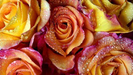 rose petals, stains, bouquet