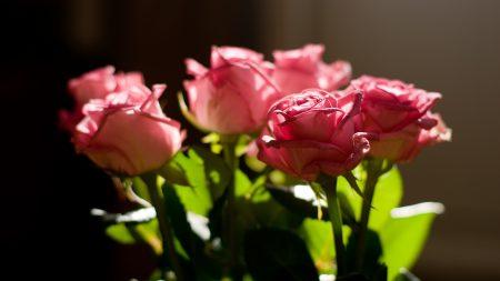 rose, pink, bouquet
