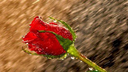 rose, rain, drops