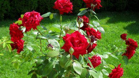 rose, red, bush