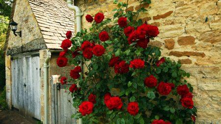 rose, red, loose