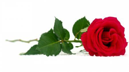 rose, red, snow