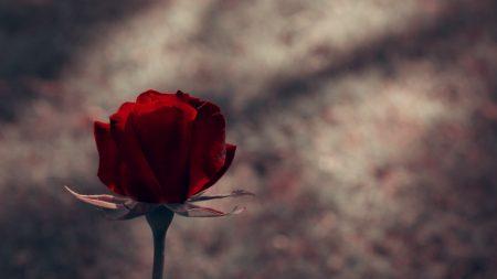 rose, red, stem