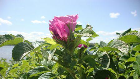 rose, shrub, flowering