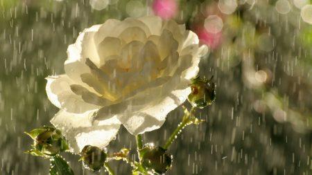 rose, tea, flower