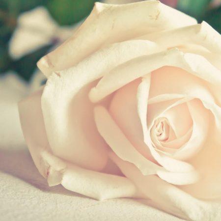 rose, tea, petals