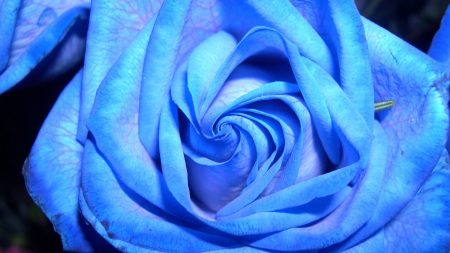 rose, unusual, mutation
