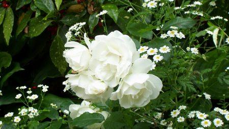rose, white, bush