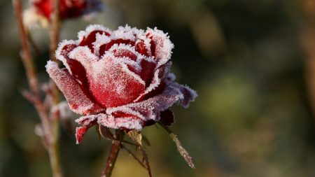 rose, winter, frost