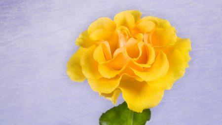 rose, yellow, bud