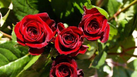 roses, buds, sharpness