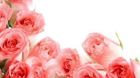 roses, buds, tender