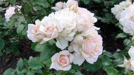 roses, bush, garden