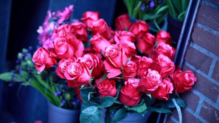 roses, flower, flowers