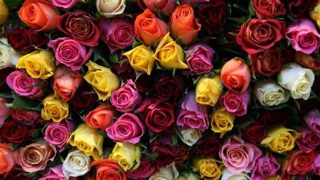 roses, flower, many
