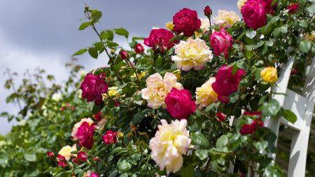 roses, flowering, garden