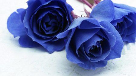roses, flowers, blue