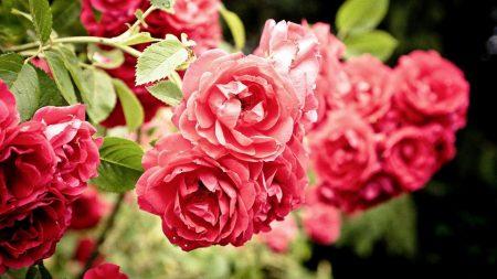 roses, flowers, bush